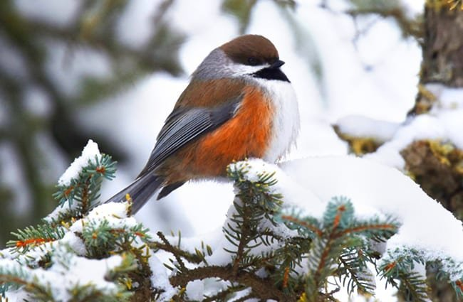 A beautiful Boreal Chickadee on a winter branchPhoto by: Andy Reago & Chrissy McClarrenhttps://creativecommons.org/licenses/by/2.0/