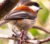 Beautiful Chestnut-Backed Chickadee Photo By: Caligula1995 Https://creativecommons.org/licenses/by/2.0/