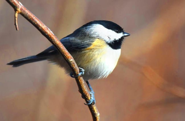 Cute little Carolina Chickadee Photo by: Andy Reago & Chrissy McClarren https://creativecommons.org/licenses/by/2.0/