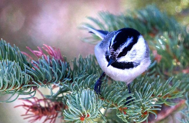 Mountain Chickadee in a pine tree Photo by: David Mitchell https://creativecommons.org/licenses/by/2.0/