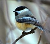 Black-Capped Chickadee Photo By: Dapuglet Pugs Https://creativecommons.org/licenses/by/2.0/