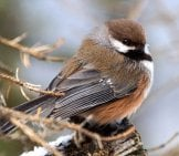 Camouflaged Boreal Chickadee Photo By: David Mitchell Https://creativecommons.org/licenses/by/2.0/