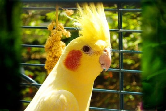 Yellow Cockatiel posing for a portrait
