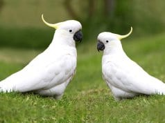A pair of White Cockatoos in the gardenPhoto by: Beverly Buckleyhttps://pixabay.com/photos/birds-cockatoos-australian-native-4148238/