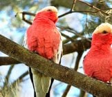 A Pair Of Major Mitchell's Cockatoos In The Wild Photo By: Bernd Hildebrandt Https://pixabay.com/photos/cockatoo-Galah-Australia-Pair-649137/