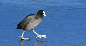 Intrepid Coot - ice dancing!