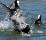 Bystander Video Of This Coot Squabble!