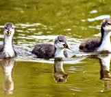 A Trio Of Baby Coots Swimming In The Lake