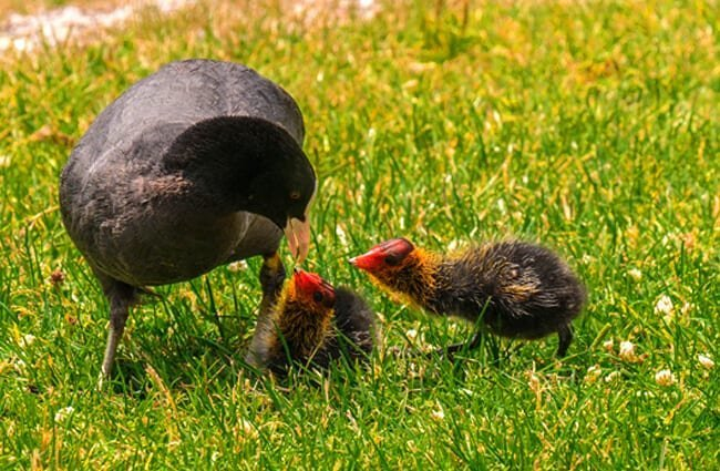 Mother Coot and two chicks