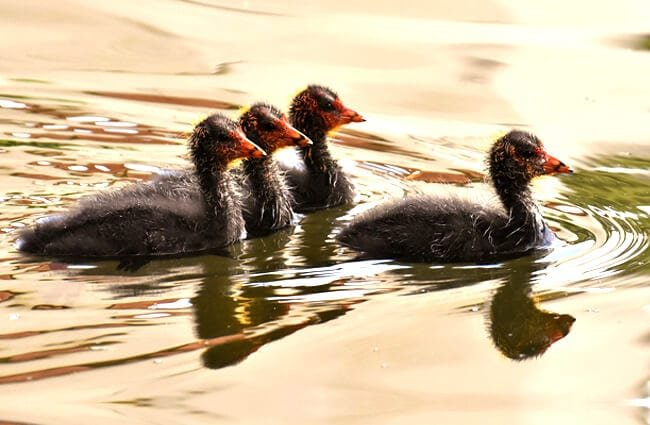 One sibling coot in front