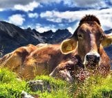 Braunvieh Cow, Resting In The Sunny Swiss Alps Photo By: Jerzy Górecki //pixabay.com/photos/cow-Alps-Cattle-Mountains-Rest-1287866/