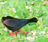 Black Crake Photo By: Brian Ralphs //creativecommons.org/licenses/by/2.0/