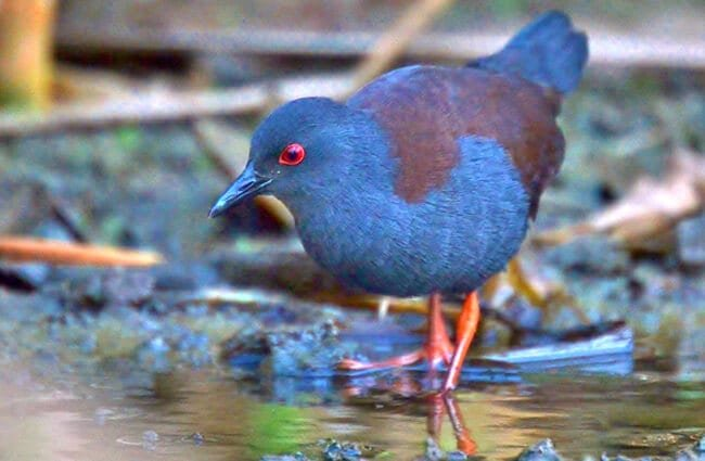 Spotless Crake Photo by: Laurie Boyle https://creativecommons.org/licenses/by/2.0/
