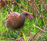 Corn Crake Photo By: Ron Knight //creativecommons.org/licenses/by/2.0/