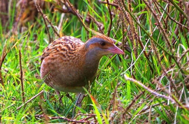Corn Crake Photo by: Ron Knight https://creativecommons.org/licenses/by/2.0/