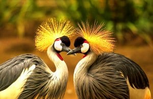 A pair of Grey Crowned CranesPhoto by: Frank Winkler, Public Domainhttps://pixabay.com/photos/grey-crowned-crane-bird-crane-540657/