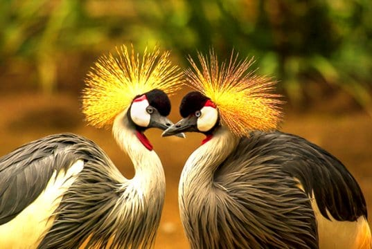 A pair of Grey Crowned CranesPhoto by: Frank Winkler, Public Domain//pixabay.com/photos/grey-crowned-crane-bird-crane-540657/