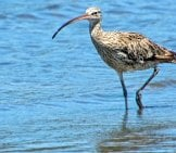 Whimbrel In Blue, Clear Waters Photo By: Rob Russell Https://creativecommons.org/licenses/by/2.0/