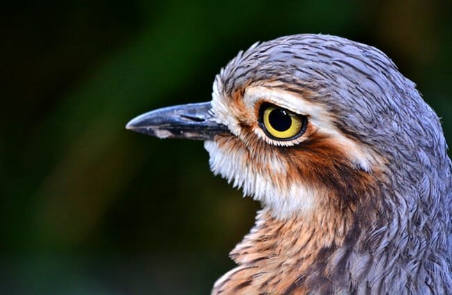 Bush Stone Curlew Photo by: Laurie Boyle https://creativecommons.org/licenses/by/2.0/