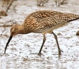 Curlew Foraging In The Sand Photo By: Nick Goodrum Https://creativecommons.org/licenses/by/2.0/