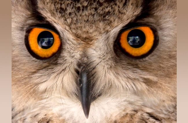 Eagle Owl closeupPhoto by: Tony Hisgetthttps://creativecommons.org/licenses/by/2.0/