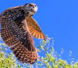 European Eagle Owl On The Prowl Photo By: Tonyjgreen@gmail.com Https://creativecommons.org/licenses/by/2.0/