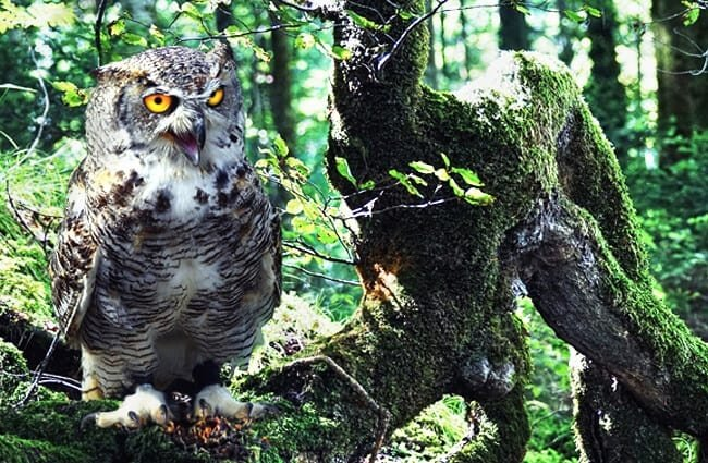Eagle Owl roosting on a downed tree Photo by: suju, public domain https://pixabay.com/photos/owl-eagle-owl-bird-bird-of-prey-2882133/