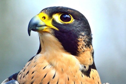 Portrait of a beautiful FalconPhoto by: Ray Millerhttps://pixabay.com/photos/peregrine-falcon-predator-raptor-371610/