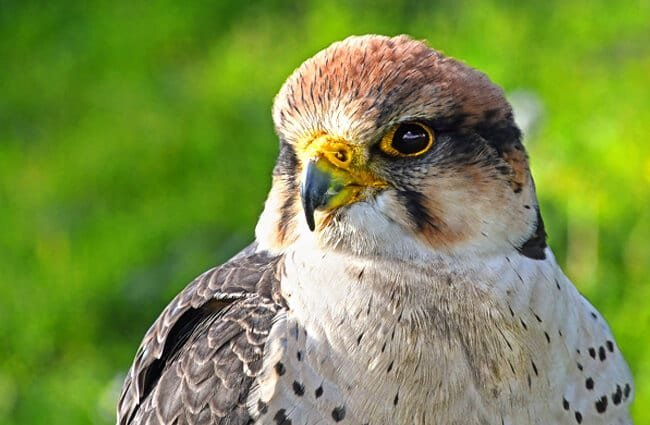 Closeup of a young Falcon Photo by: christels https://pixabay.com/photos/falcon-young-raptor-portrait-3724901/