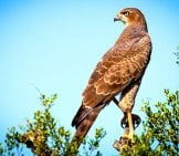 Falcon On A High Perch Photo By: Simon Bardet Https://pixabay.com/photos/bird-Of-Prey-Falcon-Raptor-Bird-1544985/