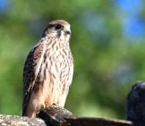 Falcon On A Perch Photo By: Grégory Delaunay Https://pixabay.com/photos/falcon-Kestrel-Nature-Bird-4225749/