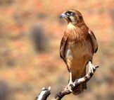 Brown Falcon On A Tree Branch Photo By: Pen_Ash Https://pixabay.com/photos/brown-Falcon-Falcon-Bird-Wildlife-2417989/