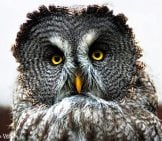 Beautiful Great Grey Owl Photo By: Steve Wilson Https://Creativecommons.org/Licenses/By/2.0/
