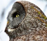 Portrait Of A Gray Owl Photo By: Jim Richmond Https://creativecommons.org/licenses/by/2.0/
