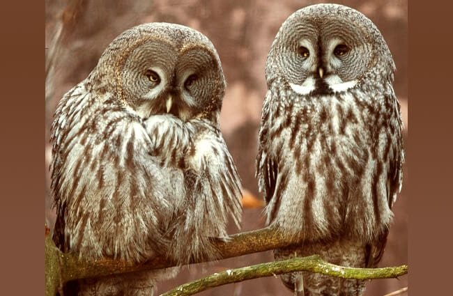 Gray Owls at Skansen Zoo, Stockholm, Sweden Photo by: Bengt Nyman https://creativecommons.org/licenses/by/2.0/