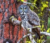 Gray Owl In A Tree Photo By: Bettina Arrigoni Https://Creativecommons.org/Licenses/By/2.0/