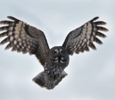 Gray Owl In Flight Photo By: Skeeze Https://pixabay.com/photos/great-Grey-Owl-Bird-Wildlife-Nature-1627538/