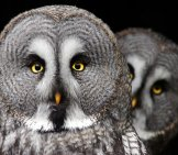 A Pair Of Gray Owlsphoto By: Tereza Houdováhttps://pixabay.com/photos/the-Great-Grey-Owl-Predator-Owl-2762192/