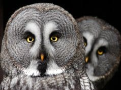 A pair of Gray OwlsPhoto by: Tereza Houdová//pixabay.com/photos/the-great-grey-owl-predator-owl-2762192/