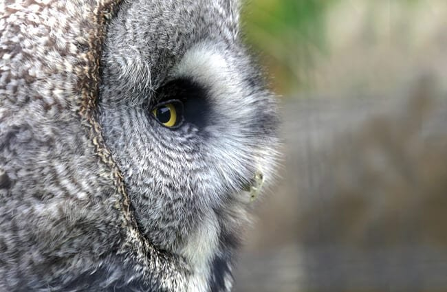 Gray Owl in profile Photo by: ykaiavu https://pixabay.com/photos/owl-eye-close-up-grey-portrait-3528831/