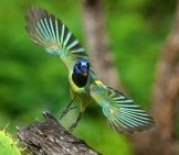 Stunning Green Jay In Flight - Notice His Beautiful Wings Photo By: Diana Robinson Https://creativecommons.org/licenses/by/2.0/