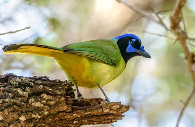 Green Jay, at Lower Rio Grande Valley in TexasPhoto by: Cletus Lee https://creativecommons.org/licenses/by/2.0/