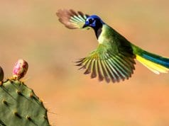 Green Jay coming in to land on a cactusPhoto by: Andy Morffew//creativecommons.org/licenses/by/2.0/