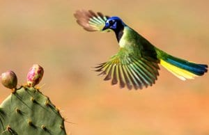 Green Jay coming in to land on a cactusPhoto by: Andy Morffewhttps://creativecommons.org/licenses/by/2.0/