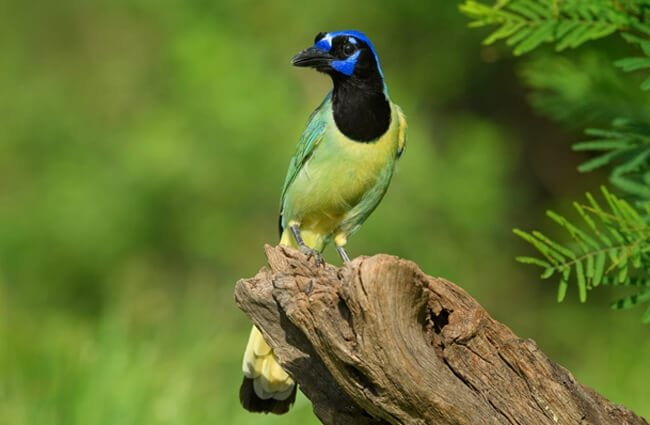 An alert Green Jay in the woods Photo by: Diana Robinson https://creativecommons.org/licenses/by/2.0/