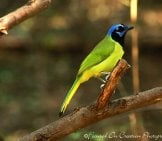 Green Jay Perched On A Branch In The Afternoon Light Photo By: Lisa Reid Https://creativecommons.org/licenses/by/2.0/