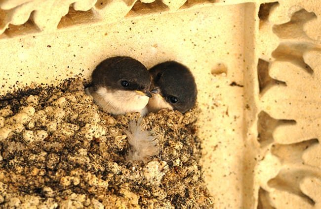 Baby House Martins peeking out from the nest Photo by: Jean-Jacques Boujot https://creativecommons.org/licenses/by-sa/2.0/