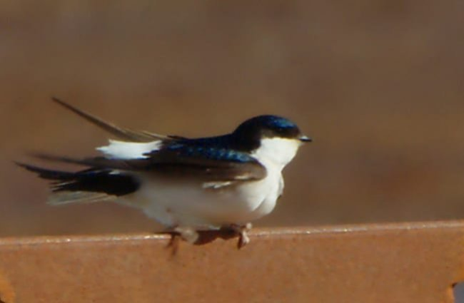House Martin on a fence rail Photo by: Stefan Berndtsson https://creativecommons.org/licenses/by-sa/2.0/
