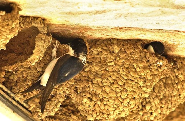 Several House Martin nests lined up under the eaves Photo by: Martien Brand https://creativecommons.org/licenses/by-sa/2.0/