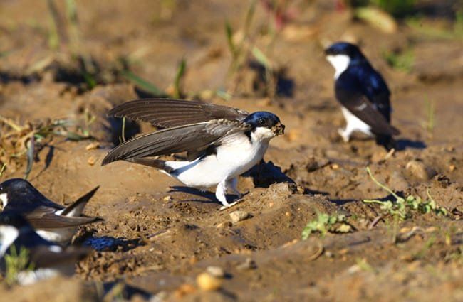 House Martin gathering mud pellets for its nest.Photo by: Vine House Farmwww.vinehousefarm.co.uk